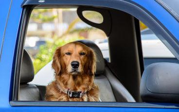Собака в салоне автомобиля